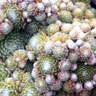 Sempervivum arachnoïdeum 'Rheinkiesel' juillet