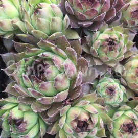 Sempervivum 'Cupream' printems Mars