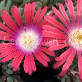 Delosperma deyeri 'Red Mountain'