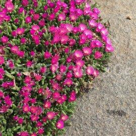 Delosperma 'Kirsch' printemps (Avril)