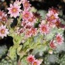 Sempervivum arachnoïdeum 'Silberina' juillet