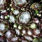 Sempervivum arachnoïdeum 'Silberina' mai