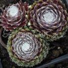 Sempervivum arachnoïdeum 'Silberina' avril
