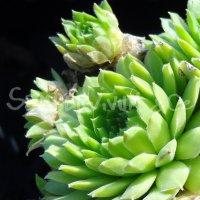 Sempervivum boutignyanum