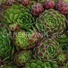 Sempervivum arenarium mars