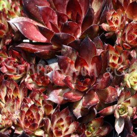 Sempervivum 'Bronco' avril