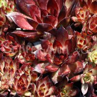 Sempervivum 'Bronco'