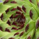 Sempervivum calcareum 'Extra' mai
