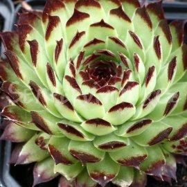 Sempervivum calcareum 'Extra' décembre