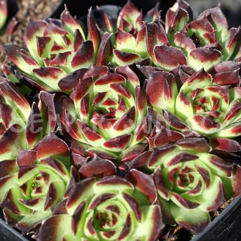 Sempervivum calcareum 'Fr Guillaume' avril