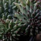 Sempervivum calcareum 'Grigg's Surprise' février