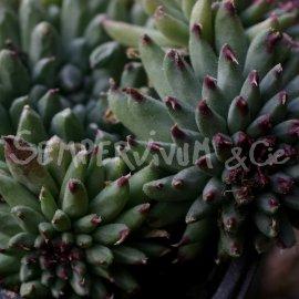 Sempervivum calcareum 'Grigg's Surprise' octobre