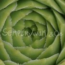 Sempervivum calcareum 'Limelight' aout