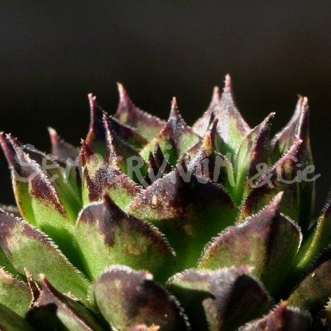Sempervivum calcareum 'Nigricans' février