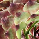 Sempervivum calcareum  'Pink Pearl' avril
