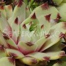 Sempervivum calcareum 'Pink Pearl' juillet