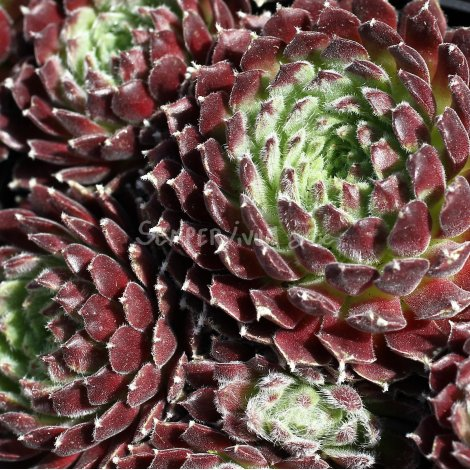 Sempervivum 'Cheg Heg' avril