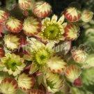 Sempervivum ciliosum var. borisii juin