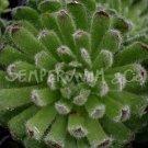 Sempervivum ciliosum var. borisii avril