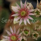 Sempervivum 'Cleveland Morgan' Aout