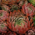 Sempervivum 'Dallas' Aout