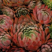 Sempervivum 'Dallas'