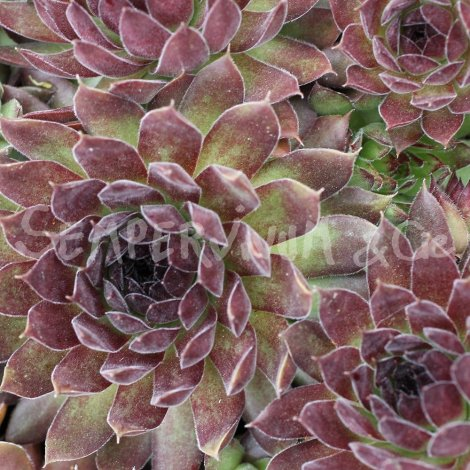 Sempervivum 'Cupream' Avril