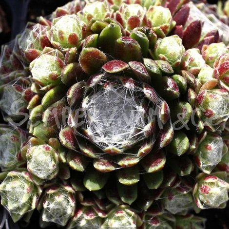 Sempervivum 'Emily' Avril