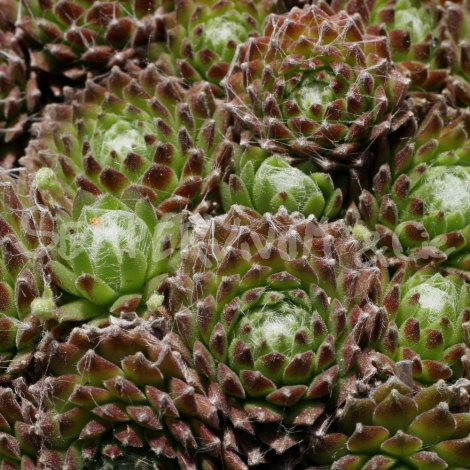 Sempervivum 'Esselina' Avril