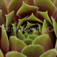 Sempervivum 'Feu de printemps'