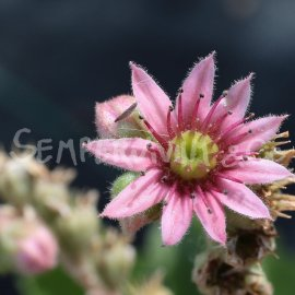 Sempervivum fimbriatum var. aqualense Avril