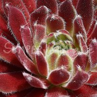 Sempervivum 'Georgette'