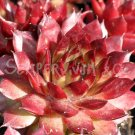 Sempervivum 'Glowing Embers' Avril