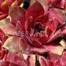 Sempervivum 'Granat' Avril