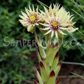 Sempervivum grandiflorum Juillet