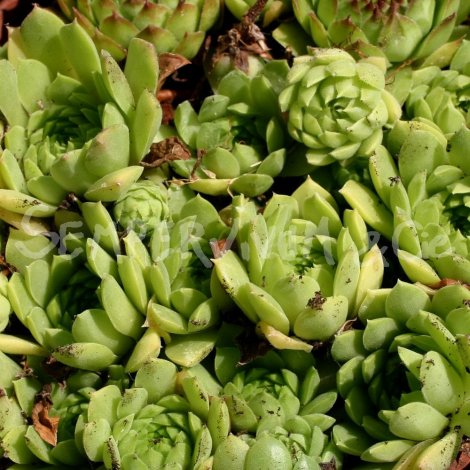 Sempervivum grandiflorum Juillet