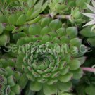 Sempervivum grandiflorum x pittonii Juin