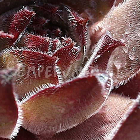 Sempervivum 'Grey Dawn' Avril