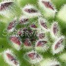 Sempervivum hausmanni 'Lachsrosa' Avril