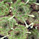 Sempervivum juvanii Avril