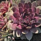 Sempervivum 'Lavender And Old Lace' Avril
