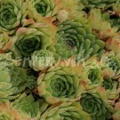 Sempervivum 'Lemon Spray'