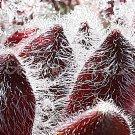 Sempervivum 'LivelyBug' Mars