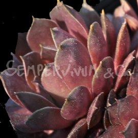 Sempervivum marmoreum 'Brunneifolium' Avril