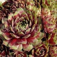 Sempervivum marmoreum 'Rubrifolium Ornatum'
