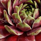 Sempervivum 'Rubrifolium Ornatum' Avril