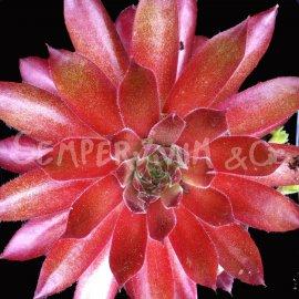 Sempervivum 'Pacific Blazing Star' Mai