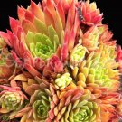Sempervivum 'Pacific Blazing Star' Juillet