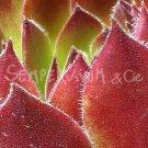 Sempervivum 'Pacific Sexy' Mai