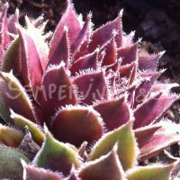 Sempervivum 'Pilatus'